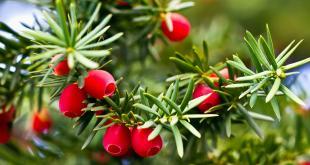 Taxine, het giftige bestanddeel, blijft ook werkzaam na koken, drogen of bewaren van het plantenmateriaal. De naalden hebben het hoogste taxinegehalte.