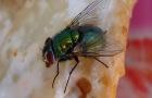 Onze inheemse soorten vliegen, mieren en muggen en zijn doorgaans weinig schadelijk, maar ze worden als flink storend ervaren.